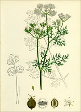 Coriandrum sativum; Common Coriander