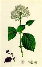 Cornus sanguinea; Common Dogwood