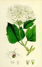 Viburnum Opulus; Common Guelder-Rose