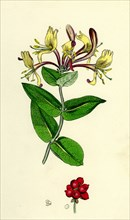 Lonicera Periclymenum; Common Woodbine