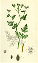 Caucalis daucoides; Small Bur-Parsley