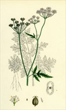 Caucalis Anthriscus; Upright Hedge-Parsley