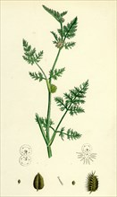Caucalis nodosa; Knotted Hedge-Parsley