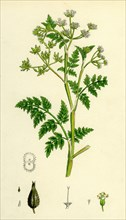 Chaerophyllum Anthriscus; Common Chervil
