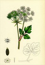 Ligusticum Scoticum; Sea Lovage