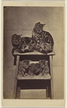 Five cats perched on a ladder; Henry Pointer, British, 1822 - 1889, about 1865; Albumen silver print