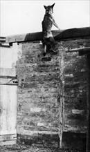 Chien de la Croix Rouge, 1915