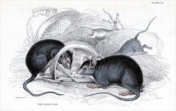 Gravure représentant un rat noir, responsable de la peste, pris dans un piège, publiée en 1838