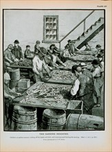 Children at sardine cannery cutting off the heads and tails of herring Cleaning herring for canning From a photograph by T. W. Smillie.