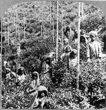 Coolie children picking tea