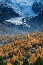 Foothills of the Morteratsch Glacier with larch