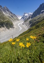 Yellow alpine flowers on the mountainside
