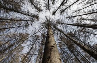 Dead spruce