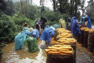 Carrot cleaning on a Rainy day (Monsoon) at Ooty