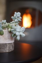 Succulente dans un pot