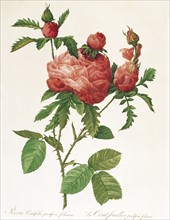 Redoute, Rosa Centifolia Prolifera Foliacea