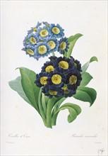 Redoute, Primula Auricula