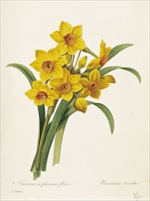 Redoute, Narcissus