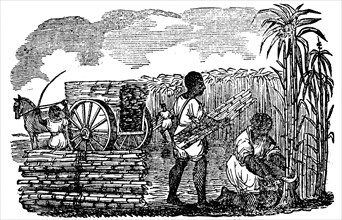 Slaves harvesting sugar cane in Louisiana, 1833. Artist: Unknown