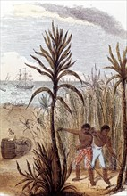 Slaves cultivating sugar cane in the West Indies, 1852. Artist: Unknown