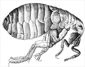 Flea, wingless bloodsucking parasitic insect, 1665. Artist: Unknown