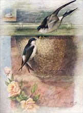 'Martin - chel'idon ur'bica', c1910, (1910). Artist: George James Rankin.