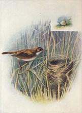 'Reed-Warbler - Acroceph'alus strep'erus', c1910, (1910). Artist: George James Rankin.