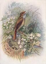 'Nightingale - Dau'lias luscin'ia', c1910, (1910). Artist: George James Rankin.