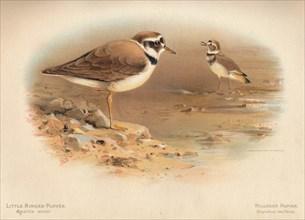 'Little Ringed Plover (Aegialitis minor), Killdeer Plover (Oxyechus vociferus)', 1900, (1900). Artist: Charles Whymper.