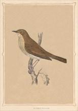 'Nightingale', (Luscinia megarhynchos), c1850, (1856). Artist: Unknown.