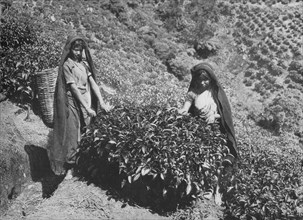 'Pluckers on Tea Estate, Ceylon', c1890, (1910). Artist: Alfred William Amandus Plate.