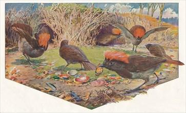 'Gardener Bower Birds', 1911, (1911). Artist: Louis Fairfax Muckley.