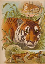 'The Tiger', c1900. Artist: Helena J. Maguire.