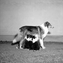A collie with three suckling puppies, Sweden, 1954. Artist: Unknown