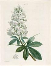 Aesculus Hippocastorum, (Horse-chestnut), c1800-1830. Creator: Pierre-Joseph Redoute.