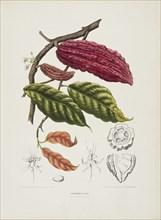 Theobroma, (Cacao tree), c1840-1890. Creator: Berthe Hoola van Nooten.