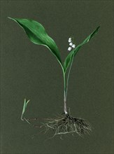 Convallaria majalis (Lily of the Valley), c1870-1920. Creator: Harold Drinkwater.