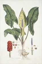 Arum Maculatum (Wild Arum), c1800-1810. Creator: Unknown.