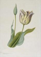 Tulipa, (Tulip), c1840-1880. Creator: Pauline Girardin.