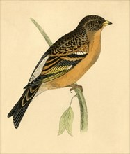 Mountain Finch', late 19th century.