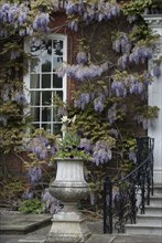 A manor house covered by ancient wisteria branches, close to Richmond Park