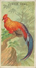 Jungle Fowl, from the Birds of the Tropics series