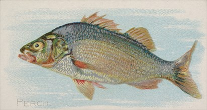 Perch, from the Fish from American Waters series