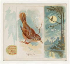Nightingale, from the Song Birds of the World series (N42) for Allen & Ginter Cigarettes, 1890.