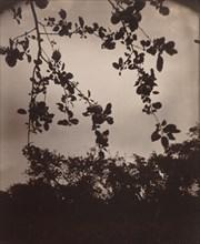 Branche de pommier, 1922/1923.