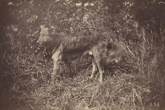 Study of a Dog, late 1870s.