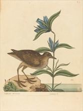 The Soree (Rallus Virginianus), published 1731-1743.