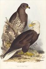 White Headed Eagle (Haliaetus leucocephalus), published 1832-1837.