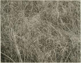 Grass, 1933. Creator: Alfred Stieglitz.