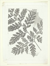 Branch of a Fern, c. 1853/58. Creator: William Henry Fox Talbot.
